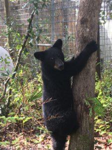 Greta, orphaned bear cub